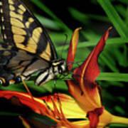Eastern Tiger Swallow Tail Butterfly Poster