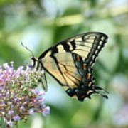 Eastern Tiger Swallowtail 2 Poster