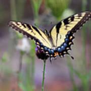 Eastern Tiger Swallowtail Butterfly In Garden 2016 Poster