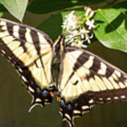 Eastern Tiger Swallowtail  Butterfly Wingspan Poster