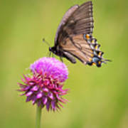 Eastern Tiger Swallowtail Dark Form  Poster