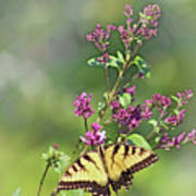 Eastern Tiger Swallowtail No. 4 Poster
