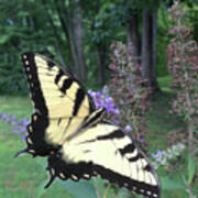 Eastern Tiger Swallowtail Sipping Nectar Poster