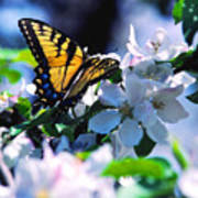 Eastern Tiger Swallowtail Poster by Thomas R Fletcher