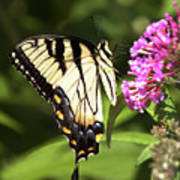 Eastern Triger Swallowtail Poster