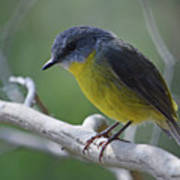 Eastern Yellow Robin Poster
