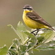 Eastern Yellow Wagtail Poster