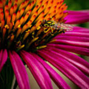 Echinacea And Syphrid Poster