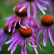 Echinacea Crowd Poster