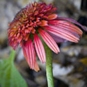Echinacea Hot Papaya Poster