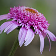 Echinacea Pink Double Delight Poster