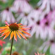 Echinacea Purpurea Orange Passion Flower Poster