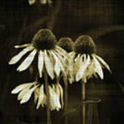 Echinacea Poster by Terrie Taylor