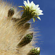 Echinopsis Atacamensis Cactus In Flower Poster
