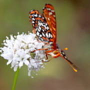 Edith's Checkerspot Five Poster