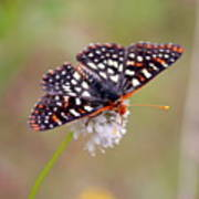 Edith's Checkerspot Three Poster