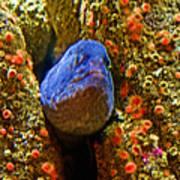 Eel In A Crack Between Two Anemone Worlds In Monterey Aquarium-california Poster