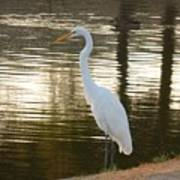 Egret At Waters Edge Poster