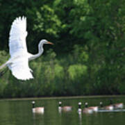 Egret In Flight With Geese Poster