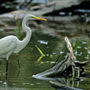Egret In The Swamp Poster