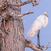 Egret In Tree Poster