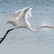 Egret Taking Off 2 Poster