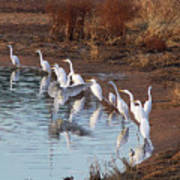 Egrets Gathering For Fishing Contest. Poster