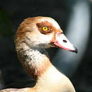Egyptian Goose 2 Poster