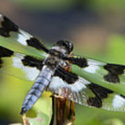 Eight-spotted Skimmer  Poster