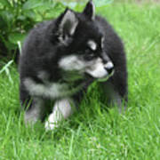 Eight Week Old Alusky Puppy On A Summer Day Poster