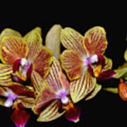Elegant Orchid On Black Poster