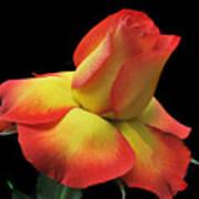Elegant Rose. Poster
