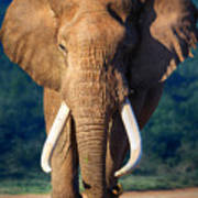 Elephant Approaching Poster by Johan Swanepoel