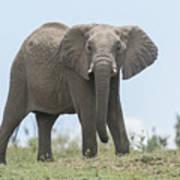 Elephant Forward On Mound Poster