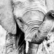 Elephant Portrait In Black And White Poster