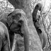 Elephant Tree Black And White  Poster
