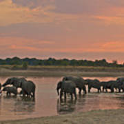 Elephants At Dusk Poster