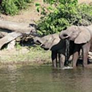 Elephants Drinking In Sinc Poster