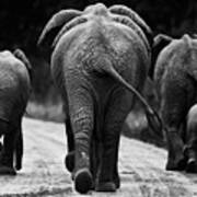 Elephants In Black And White Poster