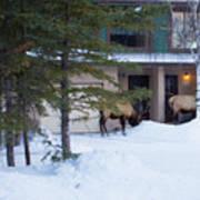 Elk Come Calling Poster