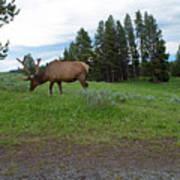 Elk Feeding Poster
