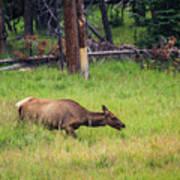 Elk In The Field Poster