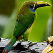 Emerald Toucanet In The Rain Poster