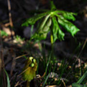 Emerging Mayapples Buffalo National River Poster