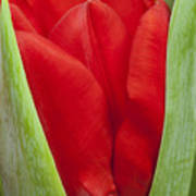 Emerging Red Tulip Poster