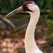 Endangered Species - Whooping Crane Poster