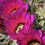 Engleman's Hedgehog Cactus  Poster