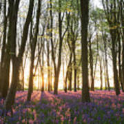 English Bluebell Wood Poster
