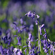 English Bluebells In Bloom Poster