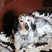 English Setter Lay Poster
